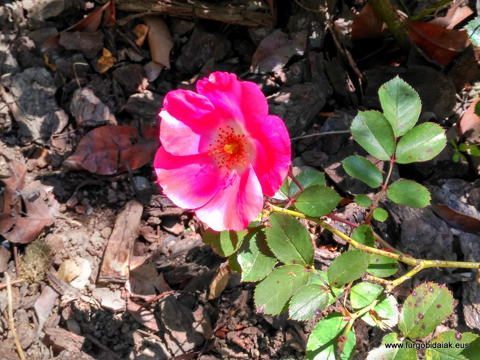 Jardín botánico Santa Catalina de Badaia, rosa silvestre