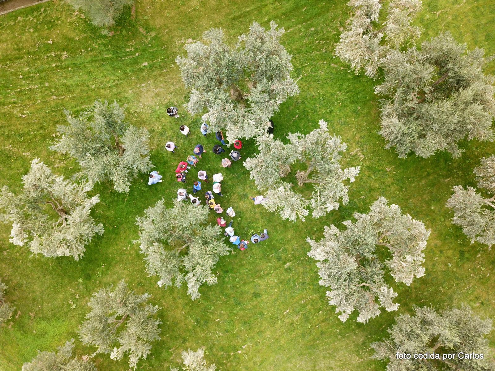 olivar Artajo a vista de dron