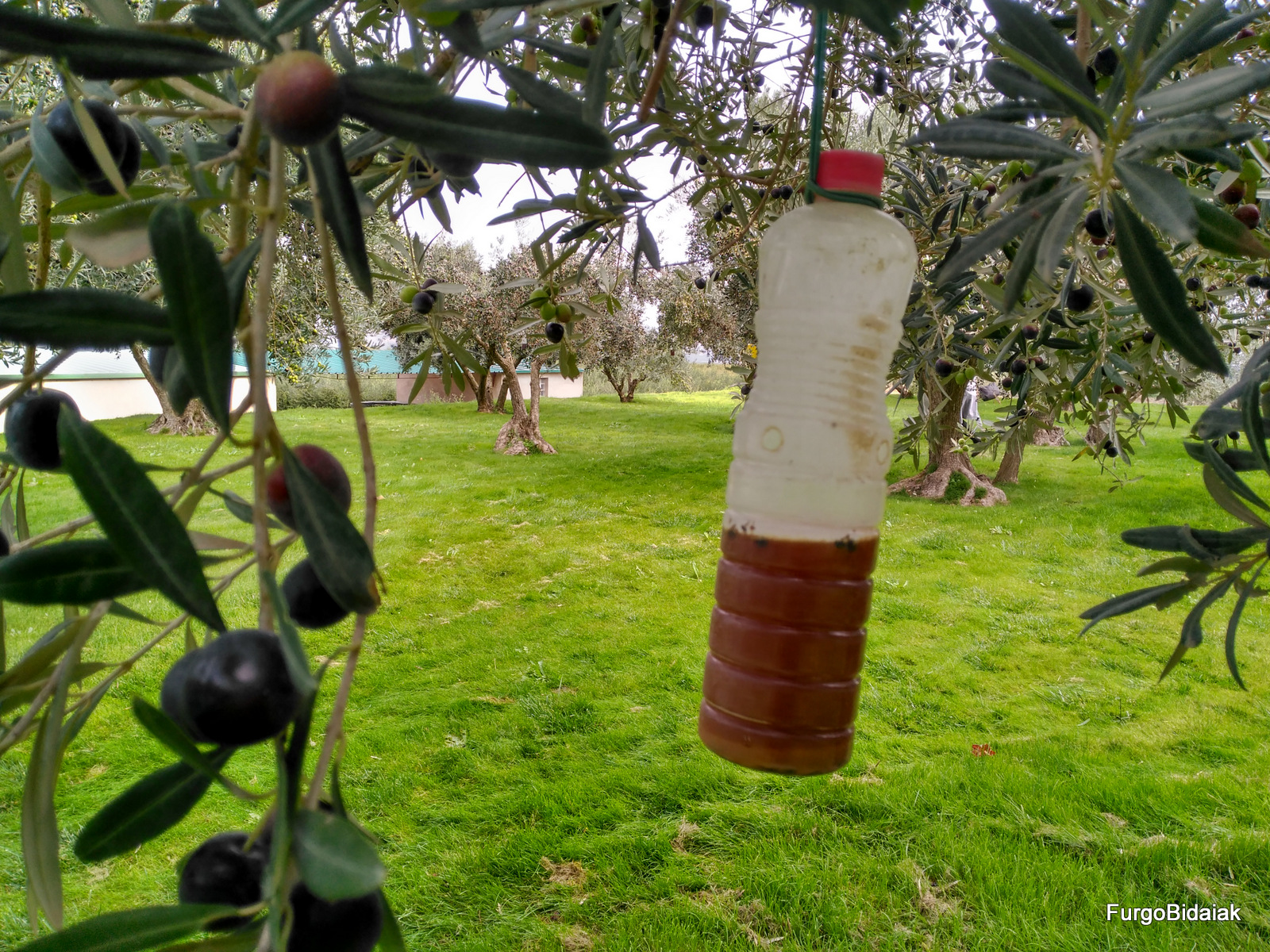 mosca del olivo, Artajo, Navarra