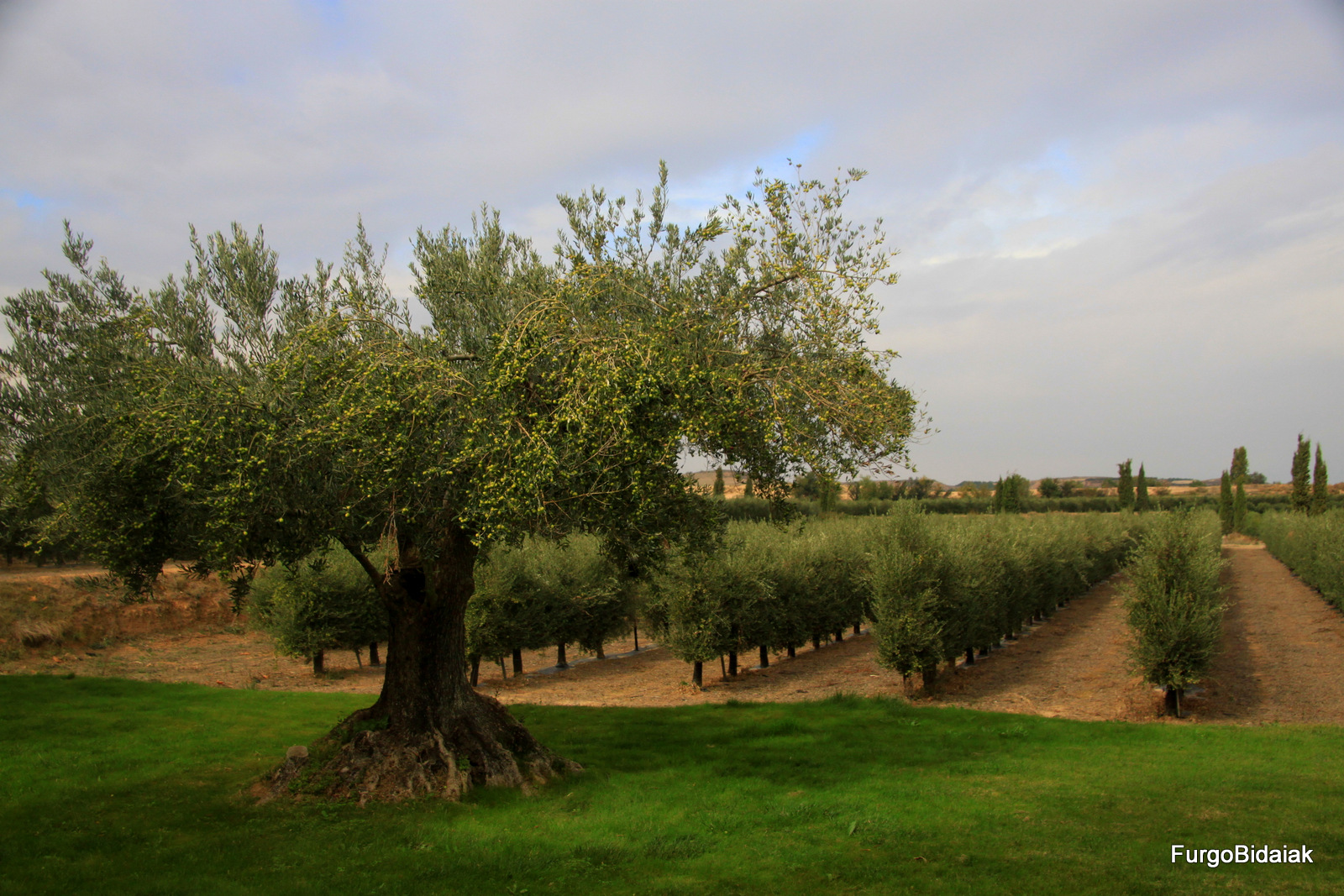 plantación en espaldera, olivar Artajo, oleoturismo