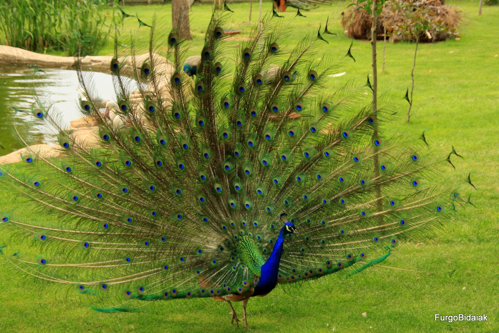 Pavo Real Safari fotográfico Sendaviva