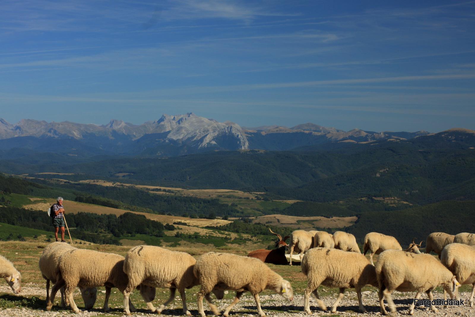 Irati, valle Aezkoa, rebaño de oveja latxa